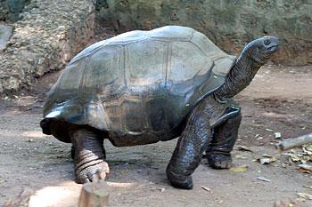 Mzee Kobe, die über 130 Jahre alte Riesenschildkröte