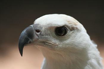 Wei�kopf-Seeadler