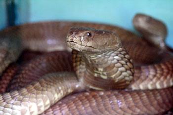 Die giftspuckende Kobra macht ihre Opfer erst blind