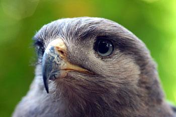 In der Falconry findet man die unterschiedlichsten Greifv�gel