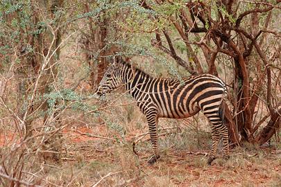 Fotoalbum von Malindi.info - Tsavo West/East Safari im März 2009[ Foto 8 von 140 ]