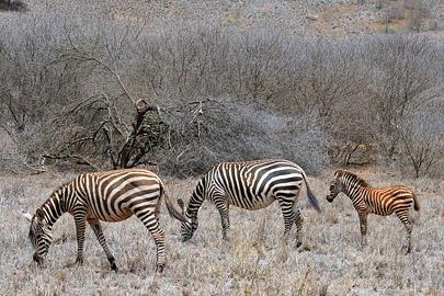 Fotoalbum von Malindi.info - Tsavo West/East Safari im März 2009[ Foto 23 von 140 ]