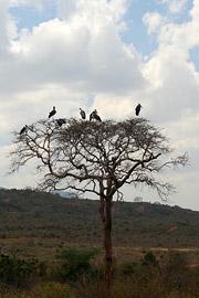 Fotoalbum von Malindi.info - Tsavo West/East Safari im März 2009[ Foto 28 von 140 ]