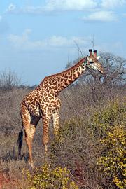 Fotoalbum von Malindi.info - Tsavo West/East Safari im März 2009[ Foto 36 von 140 ]