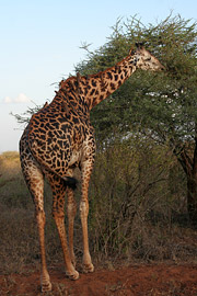 Fotoalbum von Malindi.info - Tsavo West/East Safari im März 2009[ Foto 40 von 140 ]