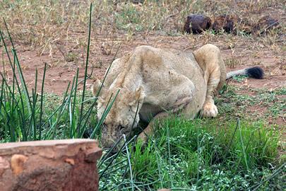 Fotoalbum von Malindi.info - Tsavo West/East Safari im März 2009[ Foto 50 von 140 ]
