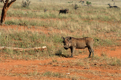 Fotoalbum von Malindi.info - Tsavo West/East Safari im März 2009[ Foto 122 von 140 ]