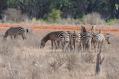 Fotoalbum von Malindi.info - Safari Tsavo East/West 2010[ Foto 11 von 145 ]