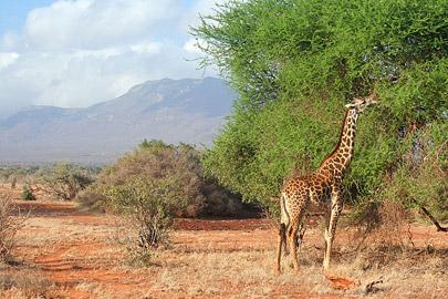 Fotoalbum von Malindi.info - Safari Tsavo East/West 2010[ Foto 64 von 145 ]