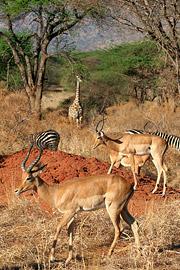 Fotoalbum von Malindi.info - Safari Tsavo East/West 2010[ Foto 127 von 145 ]