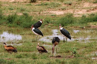 Fotoalbum von Malindi.info - Safari Tsavo East/West 2012[ Foto 15 von 98 ]