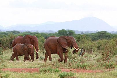 Fotoalbum von Malindi.info - Safari Tsavo East/West 2012[ Foto 17 von 98 ]