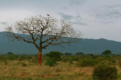 Fotoalbum von Malindi.info - Safari Tsavo East/West 2012[ Foto 18 von 98 ]