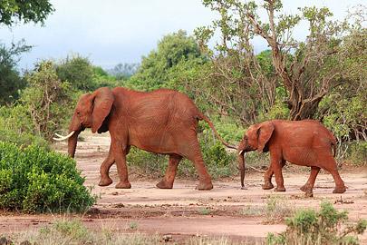 Fotoalbum von Malindi.info - Safari Tsavo East/West 2012[ Foto 27 von 98 ]