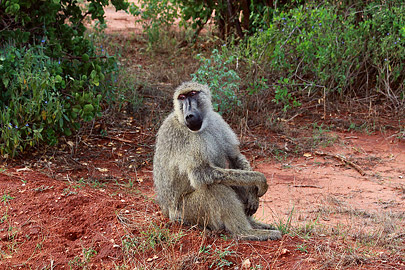 Fotoalbum von Malindi.info - Safari Tsavo East/West 2012[ Foto 29 von 98 ]