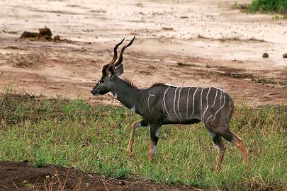 Fotoalbum von Malindi.info - Safari Tsavo East/West 2012[ Foto 32 von 98 ]