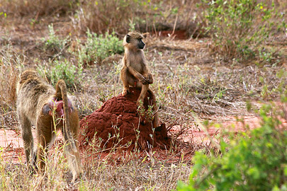 Fotoalbum von Malindi.info - Safari Tsavo East/West 2012[ Foto 33 von 98 ]