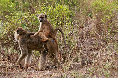 Fotoalbum von Malindi.info - Safari Tsavo East/West 2012[ Foto 34 von 98 ]