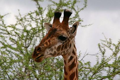 Fotoalbum von Malindi.info - Safari Tsavo East/West 2012[ Foto 41 von 98 ]