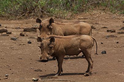 Fotoalbum von Malindi.info - Safari Tsavo East/West 2012[ Foto 44 von 98 ]