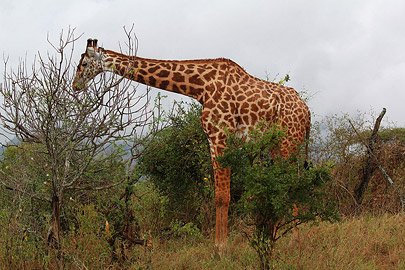Fotoalbum von Malindi.info - Safari Tsavo East/West 2012[ Foto 62 von 98 ]