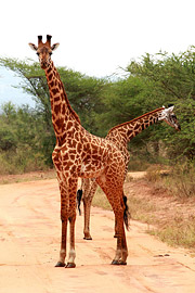 Fotoalbum von Malindi.info - Safari Tsavo East/West 2012[ Foto 65 von 98 ]