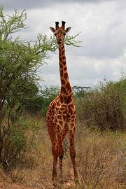 Fotoalbum von Malindi.info - Safari Tsavo East/West 2012[ Foto 66 von 98 ]