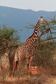 Fotoalbum von Malindi.info - Safari Tsavo East/West 2012[ Foto 69 von 98 ]