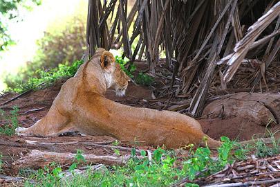 Fotoalbum von Malindi.info - Safari Tsavo/East und Amboseli Dezember 2012[ Foto 7 von 145 ]