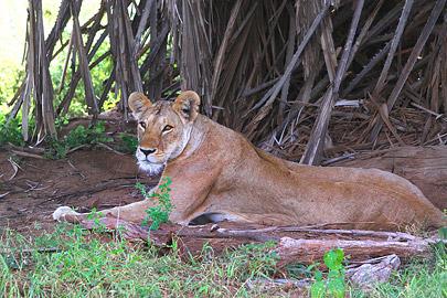 Fotoalbum von Malindi.info - Safari Tsavo/East und Amboseli Dezember 2012[ Foto 8 von 145 ]