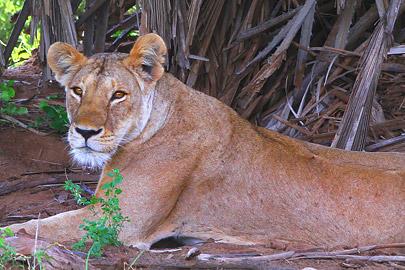 Fotoalbum von Malindi.info - Safari Tsavo/East und Amboseli Dezember 2012[ Foto 9 von 145 ]