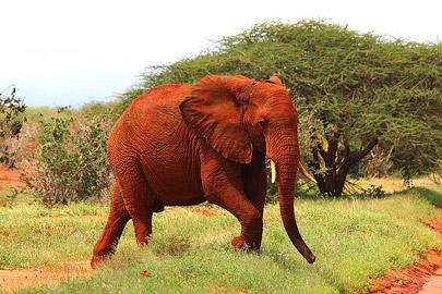 Fotoalbum von Malindi.info - Safari Tsavo/East und Amboseli Dezember 2012[ Foto 15 von 145 ]