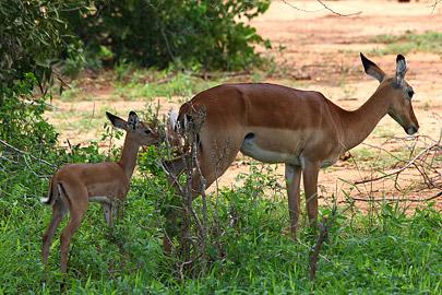 Fotoalbum von Malindi.info - Safari Tsavo/East und Amboseli Dezember 2012[ Foto 20 von 145 ]