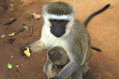 Fotoalbum von Malindi.info - Safari Tsavo/East und Amboseli Dezember 2012[ Foto 34 von 145 ]