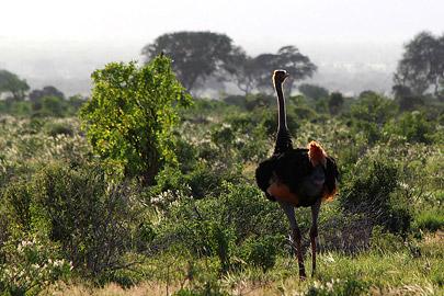 Fotoalbum von Malindi.info - Safari Tsavo/East und Amboseli Dezember 2012[ Foto 43 von 145 ]