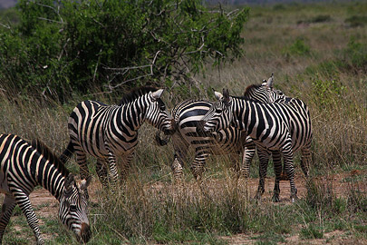 Fotoalbum von Malindi.info - Safari Tsavo/East und Amboseli Dezember 2012[ Foto 75 von 145 ]
