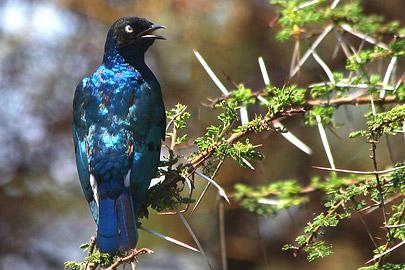 Fotoalbum von Malindi.info - Safari Tsavo/East und Amboseli Dezember 2012[ Foto 77 von 145 ]