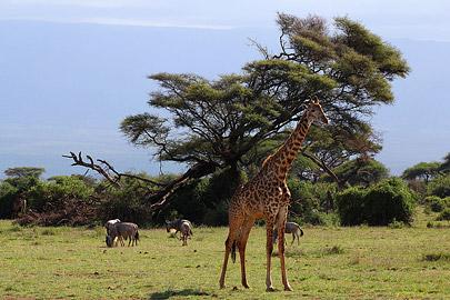Fotoalbum von Malindi.info - Safari Tsavo/East und Amboseli Dezember 2012[ Foto 93 von 145 ]