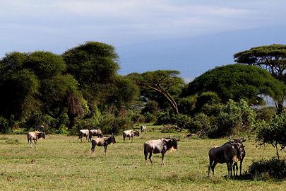 Fotoalbum von Malindi.info - Safari Tsavo/East und Amboseli Dezember 2012[ Foto 94 von 145 ]