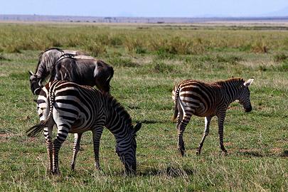 Fotoalbum von Malindi.info - Safari Tsavo/East und Amboseli Dezember 2012[ Foto 95 von 145 ]