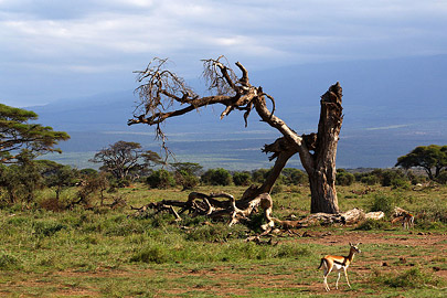 Fotoalbum von Malindi.info - Safari Tsavo/East und Amboseli Dezember 2012[ Foto 96 von 145 ]