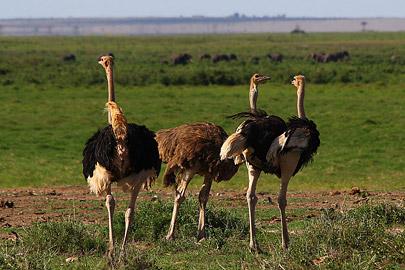 Fotoalbum von Malindi.info - Safari Tsavo/East und Amboseli Dezember 2012[ Foto 97 von 145 ]