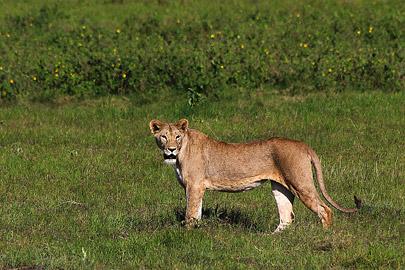Fotoalbum von Malindi.info - Safari Tsavo/East und Amboseli Dezember 2012[ Foto 101 von 145 ]