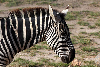 Fotoalbum von Malindi.info - Safari Tsavo/East und Amboseli Dezember 2012[ Foto 104 von 145 ]