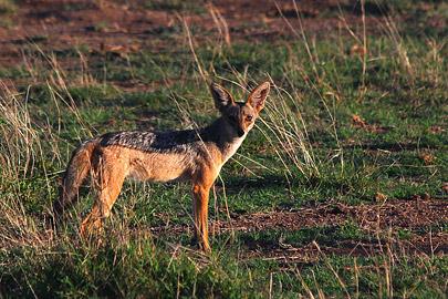 Fotoalbum von Malindi.info - Safari Tsavo/East und Amboseli Dezember 2012[ Foto 126 von 145 ]