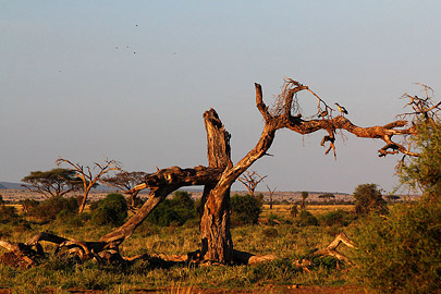 Fotoalbum von Malindi.info - Safari Tsavo/East und Amboseli Dezember 2012[ Foto 127 von 145 ]