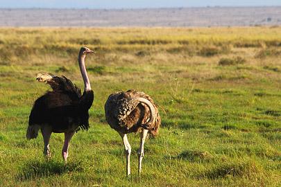 Fotoalbum von Malindi.info - Safari Tsavo/East und Amboseli Dezember 2012[ Foto 132 von 145 ]