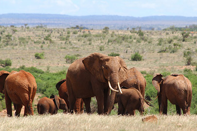 Fotoalbum von Malindi.info - Safari Tsavo East im April 2015[ Foto 8 von 66 ]