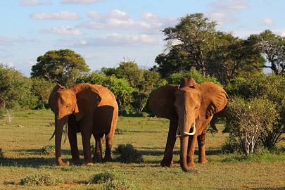 Fotoalbum von Malindi.info - Safari Tsavo East im April 2015[ Foto 43 von 66 ]