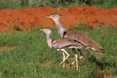 Fotoalbum von Malindi.info - Safari Tsavo East im April 2015[ Foto 57 von 66 ]